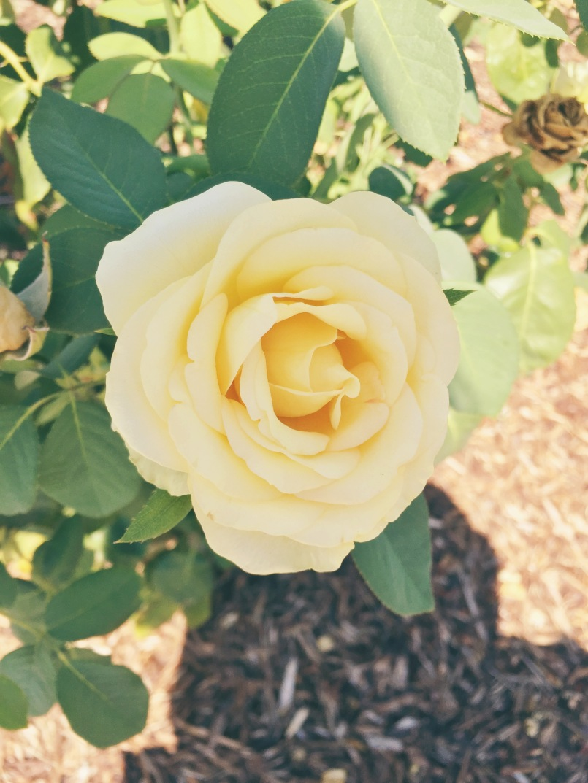 Yellow Rose ©Emeliabird 2016